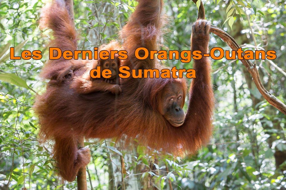Derniers orangs-outans de Sumatra