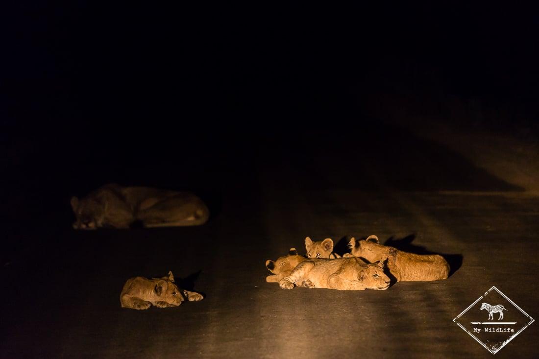 Lions lors d'un game-drive de nuit