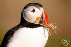 Mes 8 spots favoris pour observer les macareux moines et autres oiseaux d'Islande