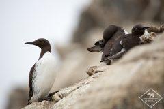 Ornithologie à Varanger : 5 jours d'août en Laponie Norvégienne