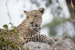 Sabi Sands Game Reserve : safari sur la piste du léopard