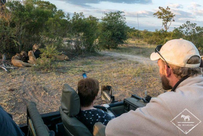 Lions à table, Sabi Sands Game Reserve