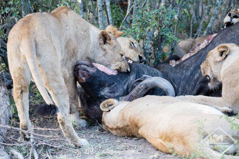 Lions mangeant un buffle, Sabi Sands Game Reserve