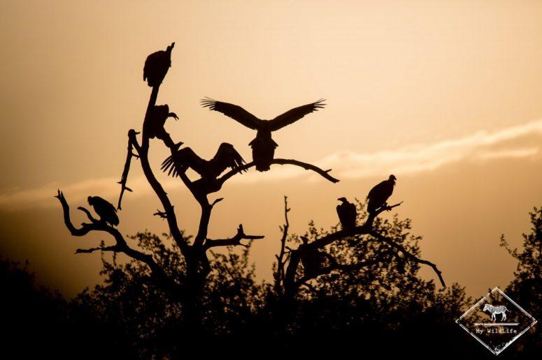 Vautours, Sabi Sands Game Reserve