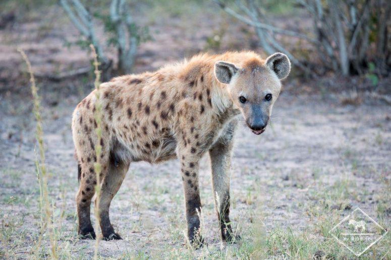 Hyène tachetée, Sabi Sands Game Reserve