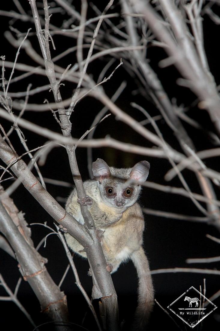 Galago Moholi, Sabi Sands Game Reserve