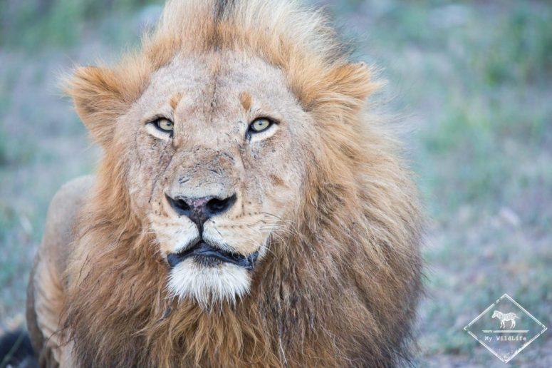 Lion, Sabi Sands Game Reserve