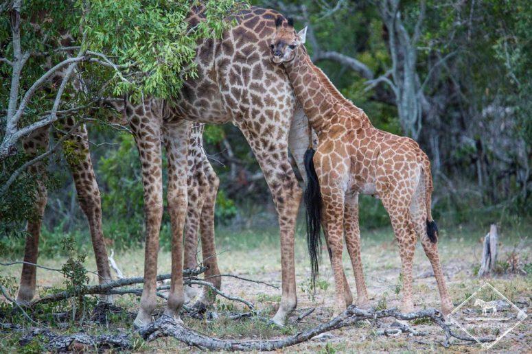 Girafes, Sabi Sands Game Reserve