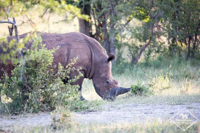 rhinocéros blanc, parc national Mosi Oa Tunya