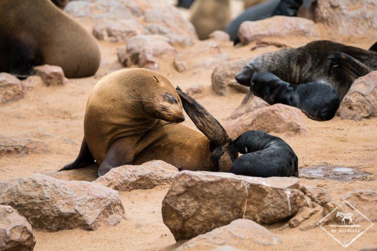 Otaries à fourrure du Cap
