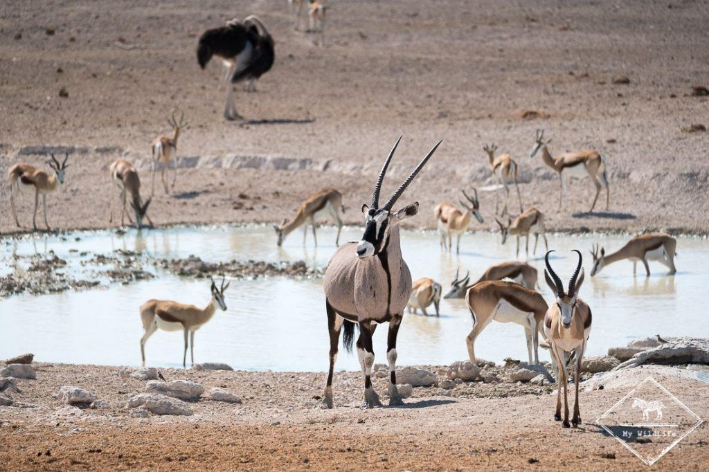 Oryx, springboks et autruche