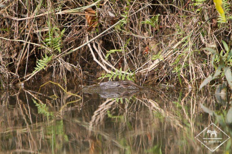 Crocodile, Chitwan