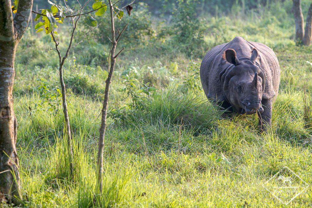 Rhinocéros, Chitwan