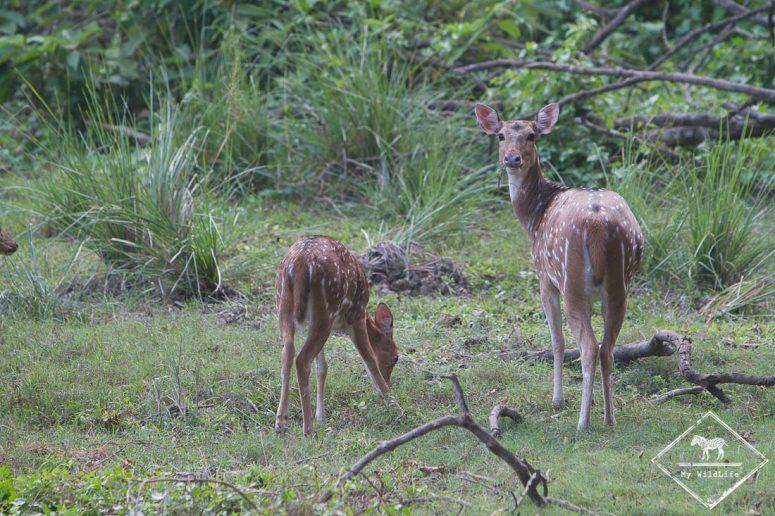Cerf axis, Chitwan