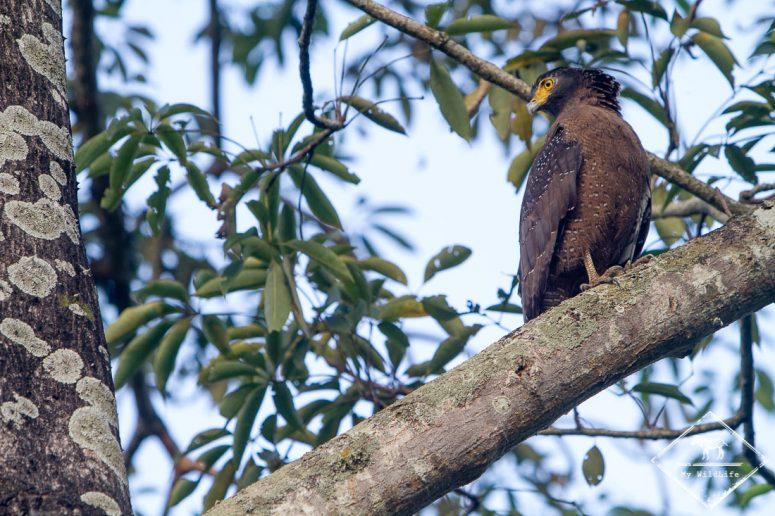 Serpentaire bacha, Chitwan