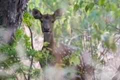 Safari en Inde dans le parc national de Pench