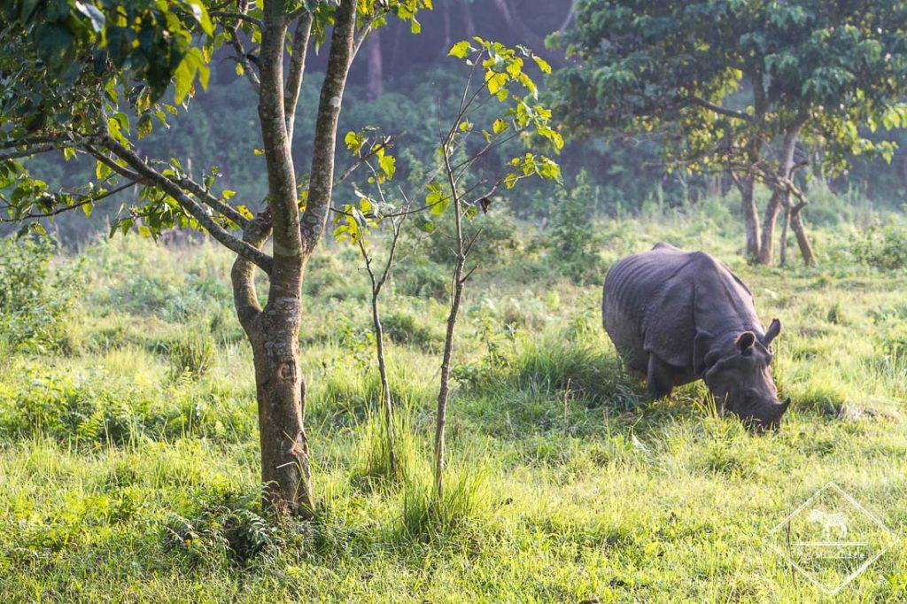 Rhinocéros - Chitwan