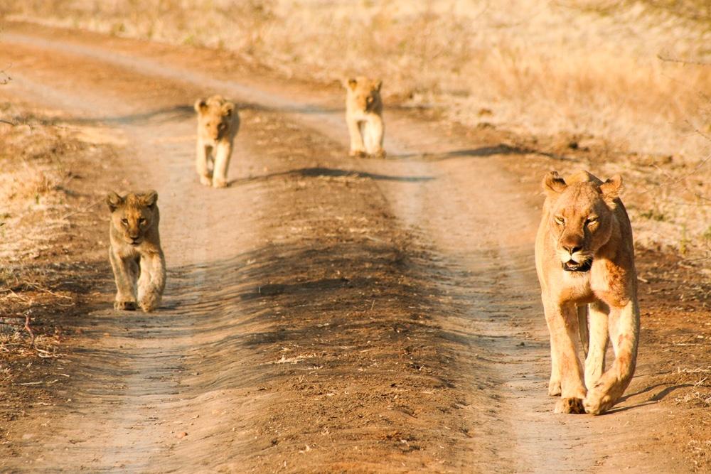 La réserve privée de Madikwe en afrique du Sud