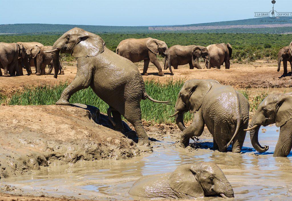 Addo, le royaume des éléphants