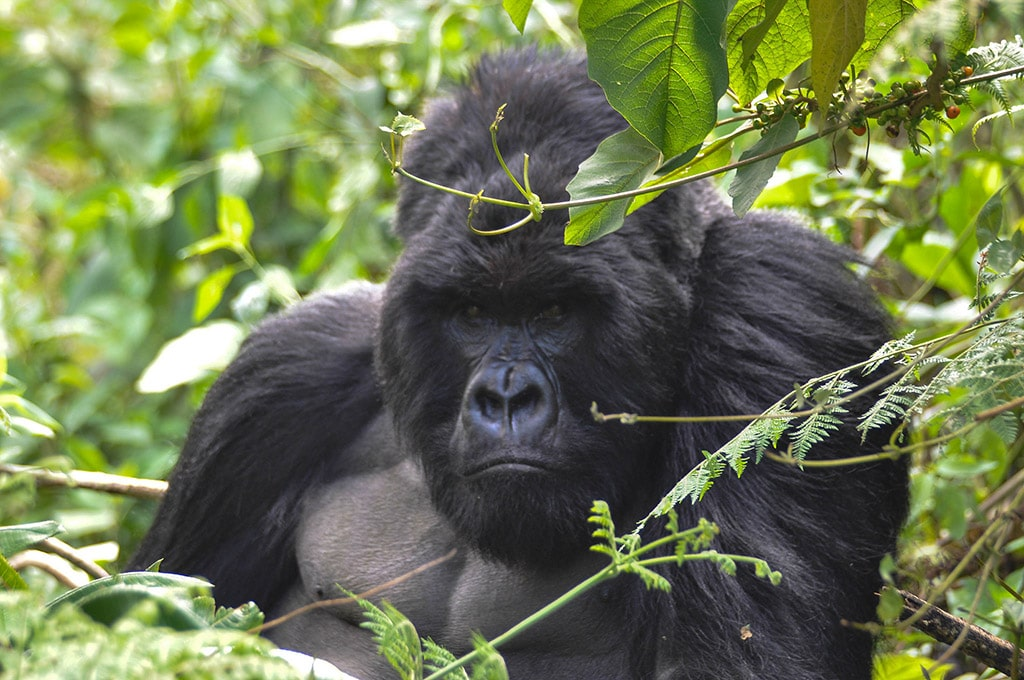 Les gorilles des Virungas au Rwanda