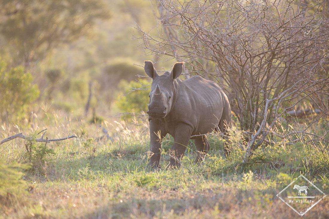 safari dans le Kruger - jeune rhinocéros