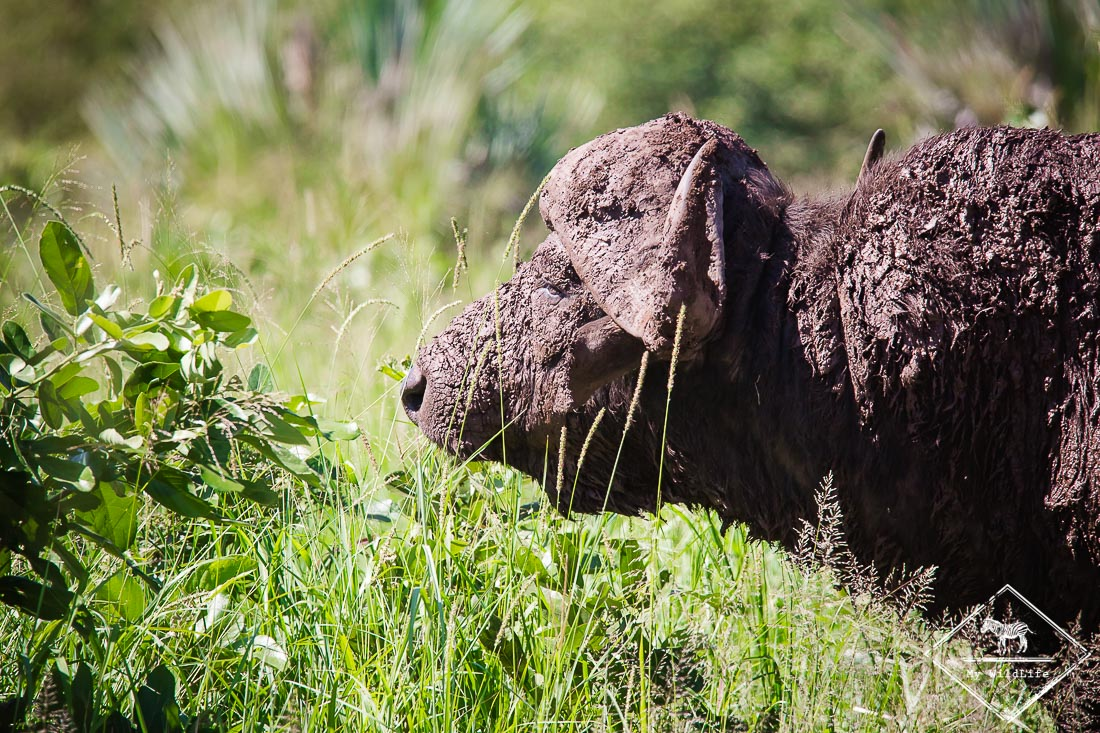 Safari dans le Kruger - Buffle