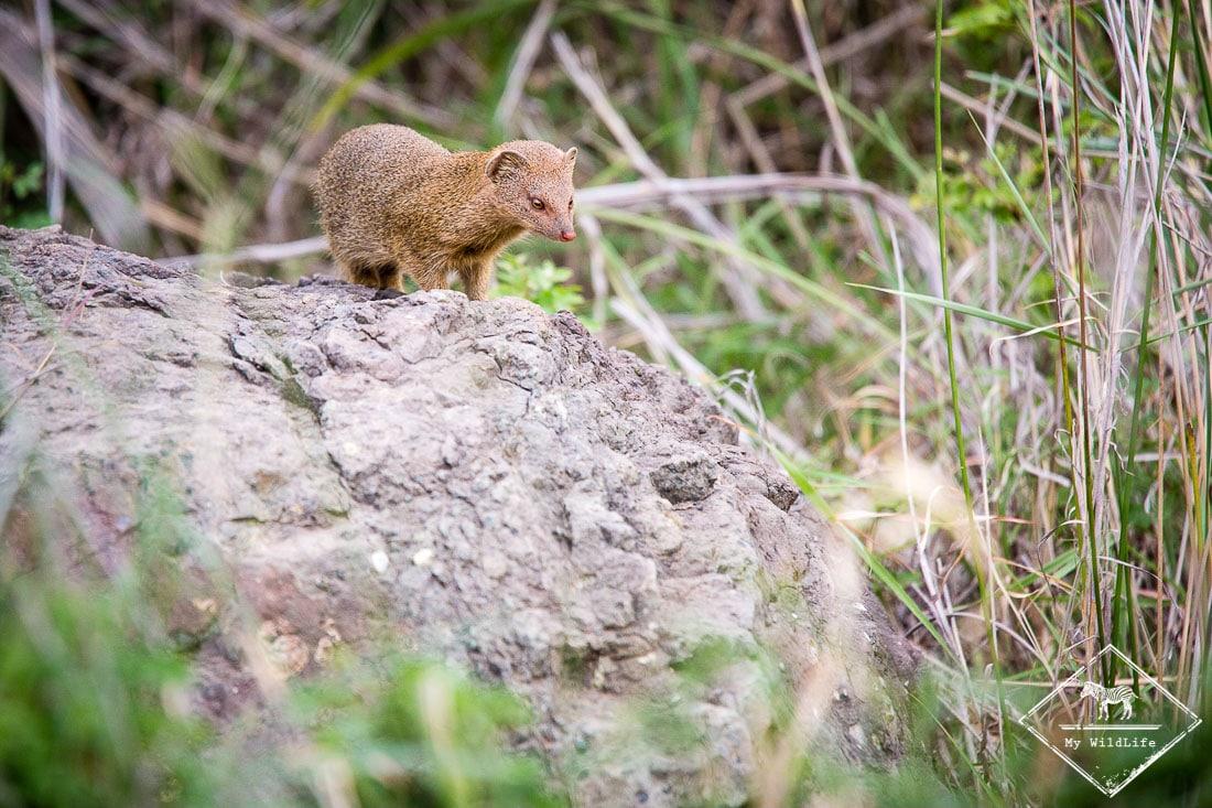 Safari dans le Kruger - mangouste rouge