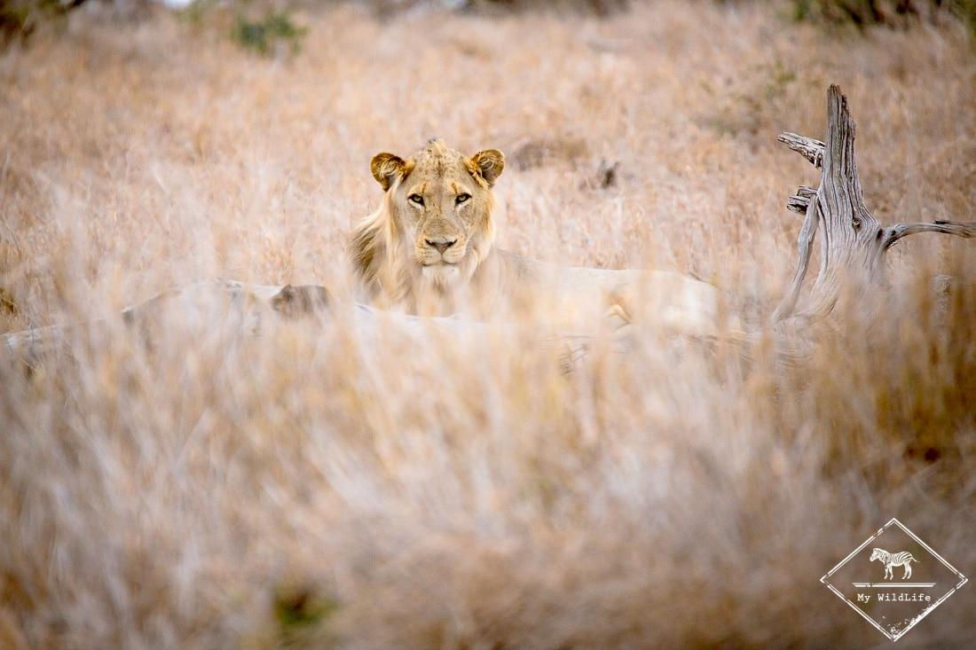 safari dans le Kruger - lion