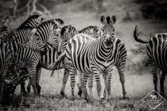 Safari dans le Kruger : Vlog 1 de Punda Maria à Bateleur
