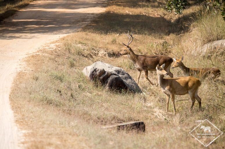 Barasinghas sur le bord de la piste