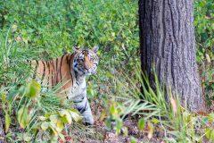 Safari en Inde dans la réserve de tigres de Kanha