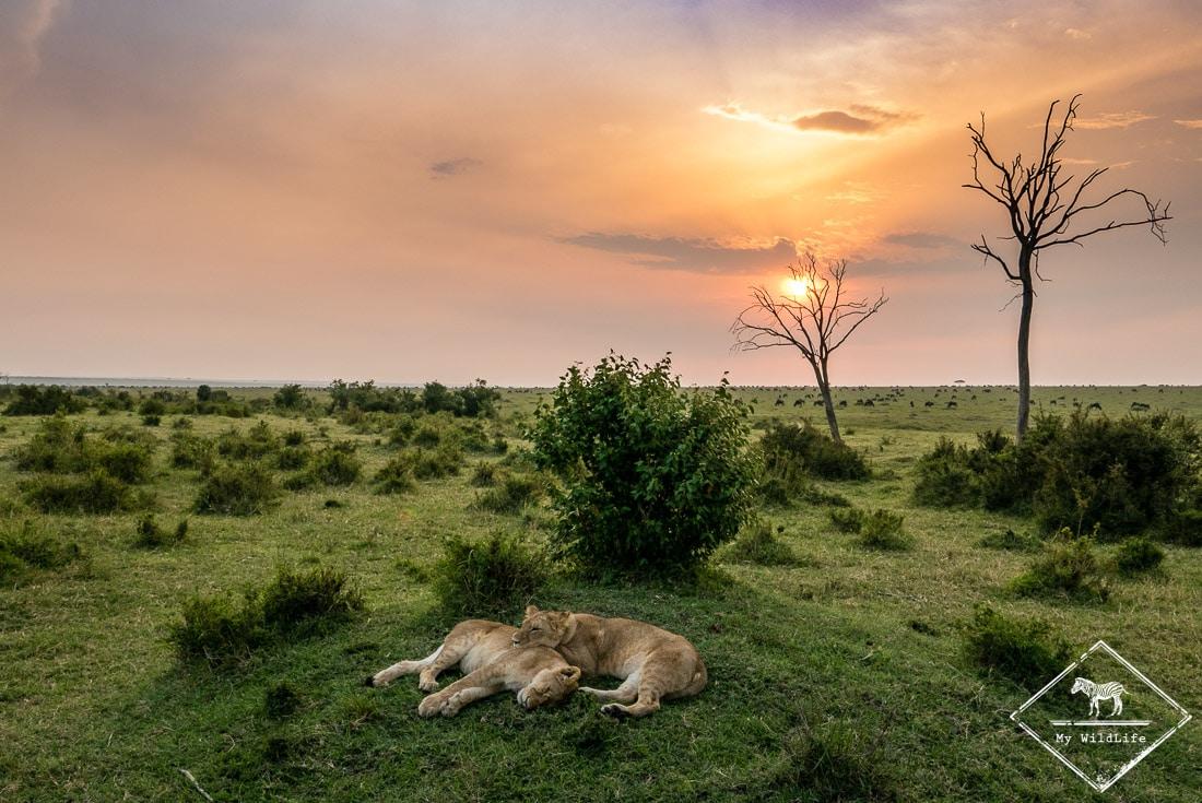 Lions à Masaï Mara