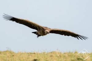 Masaï Mara Vautour de Rüppell