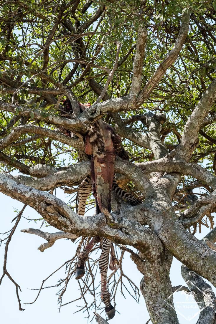 Zèbre victime d'un léopard à Masaï Mara
