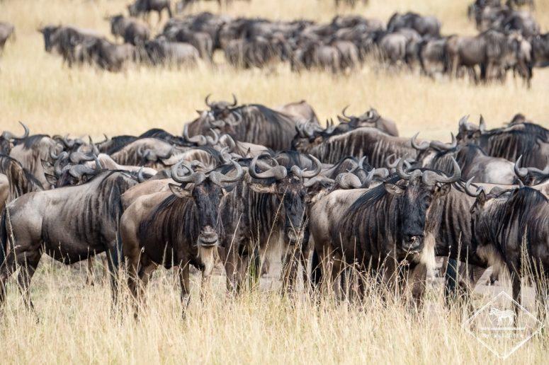 Migration des gnous à Masaï Mara