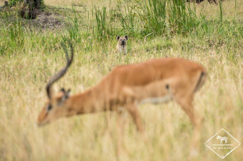 Hyène à l'affût à Masaï Mara