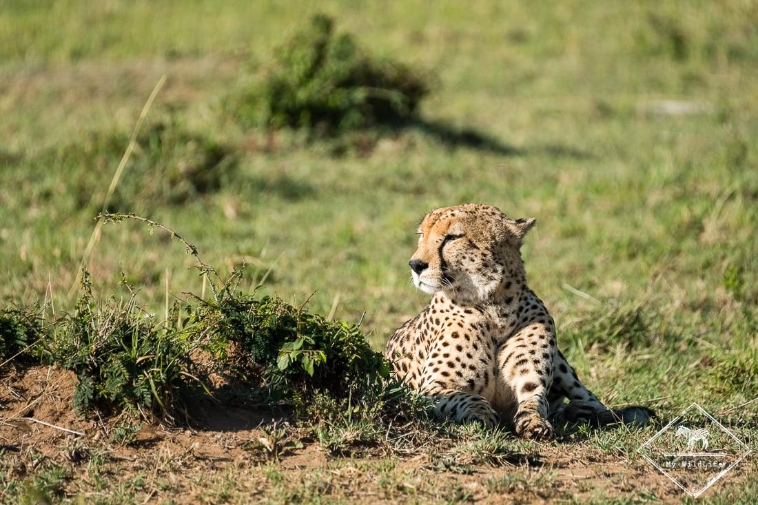 Guépard à Masaï Mara