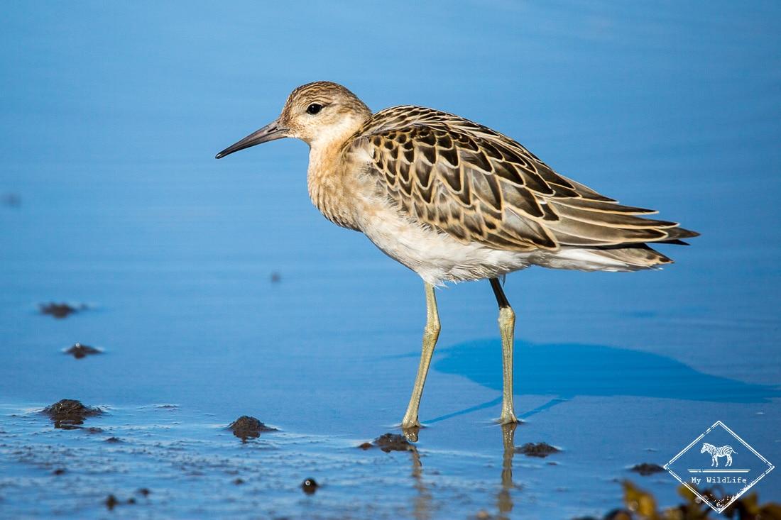 Venez photographier les oiseaux de Varanger