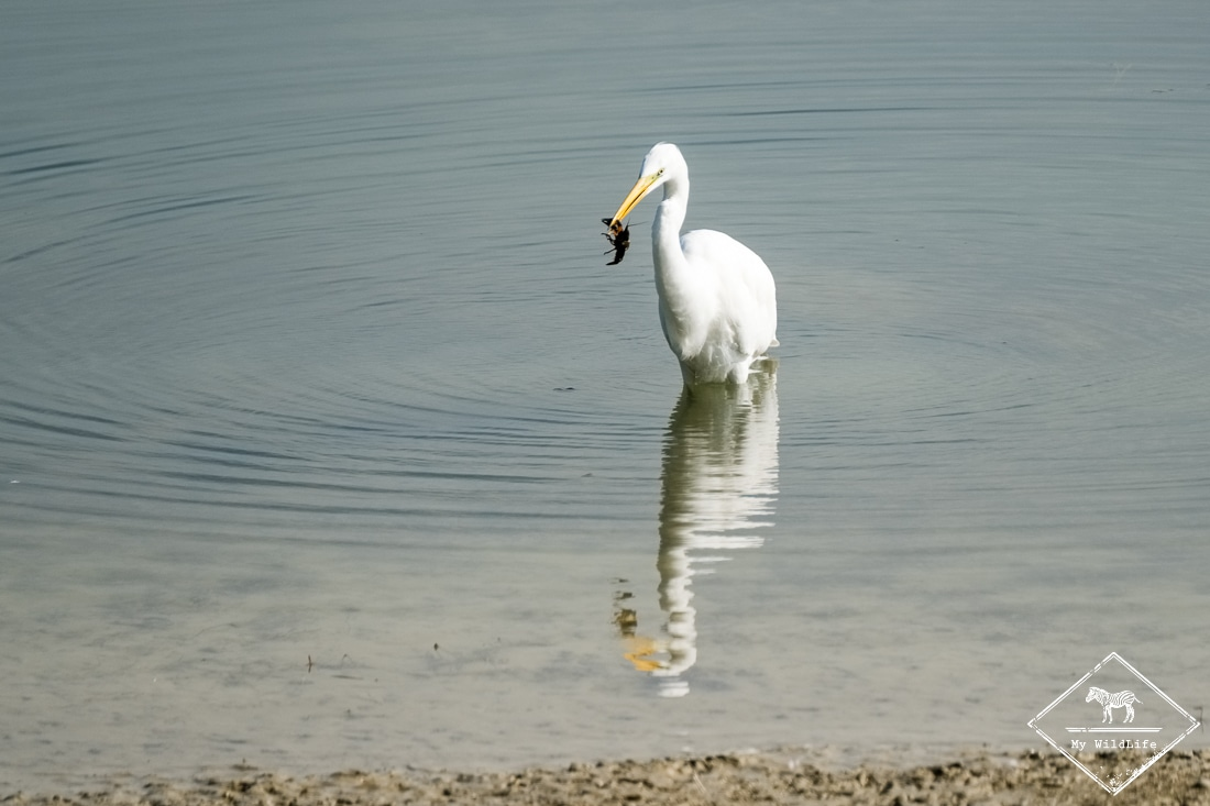 Grande Aigrette, lac du Der