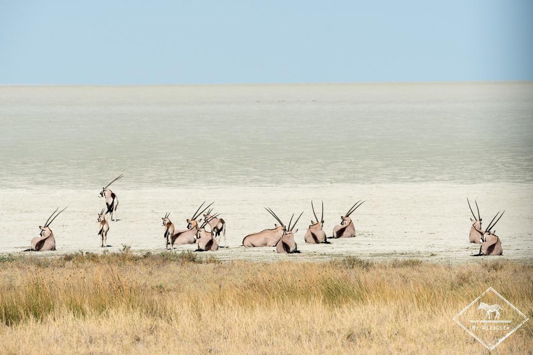 Oryx, , parc national d'Etosha, Namibie