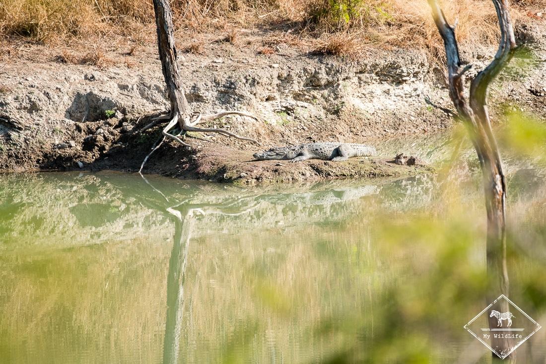 parc national de Panna (crocodile)