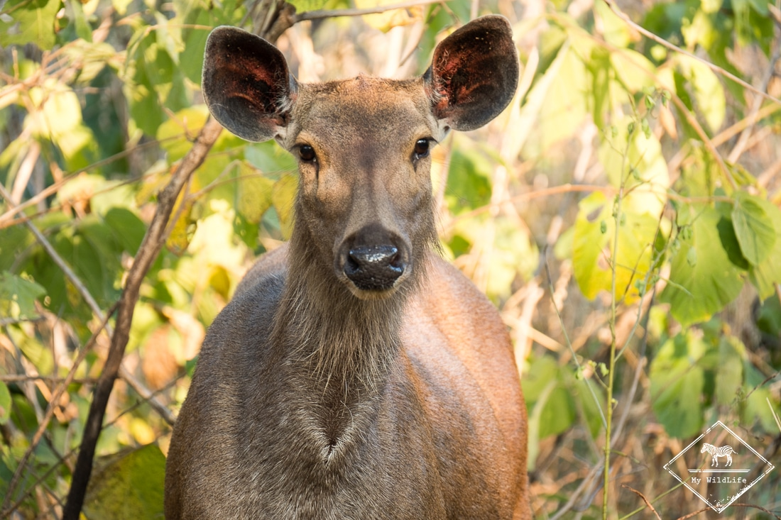 Sambar, parc national de Panna