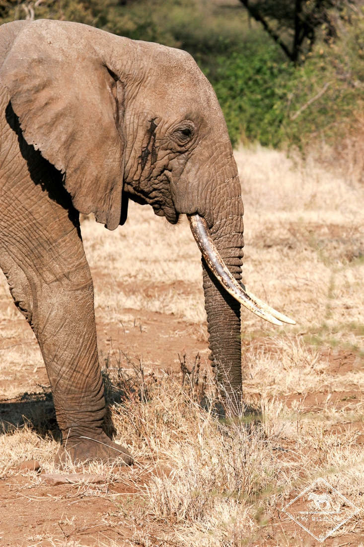 Eléphant Parc national du lac Manyara