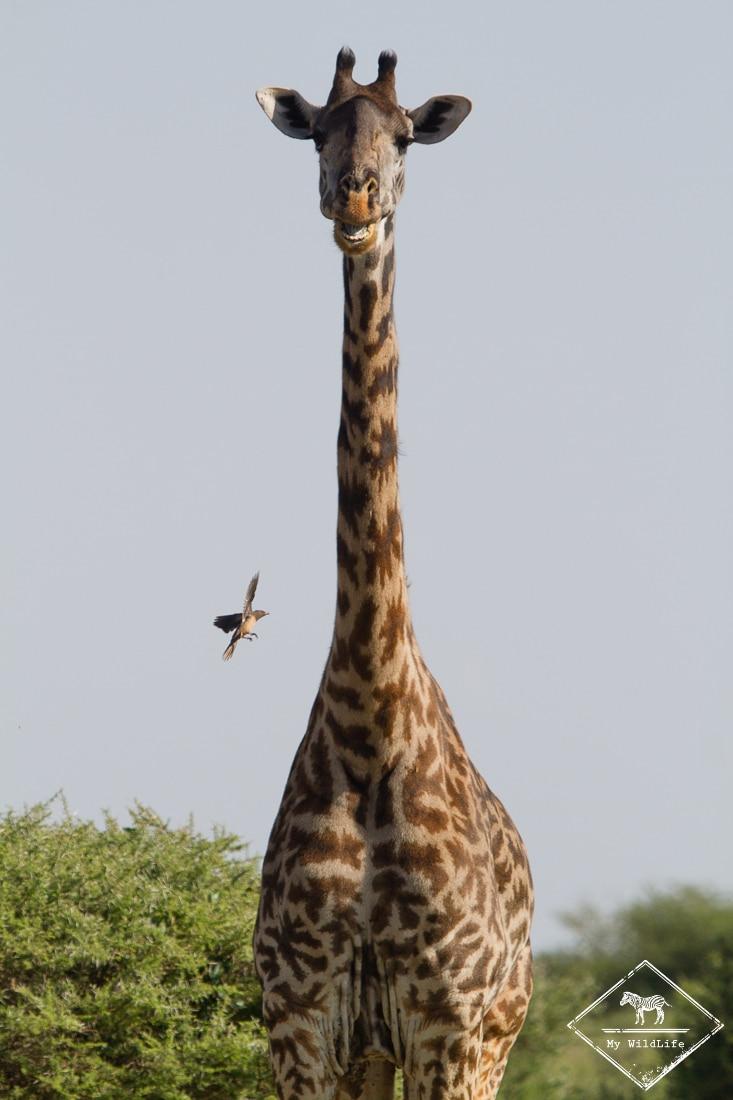 Girafe, Parc national du lac Manyara