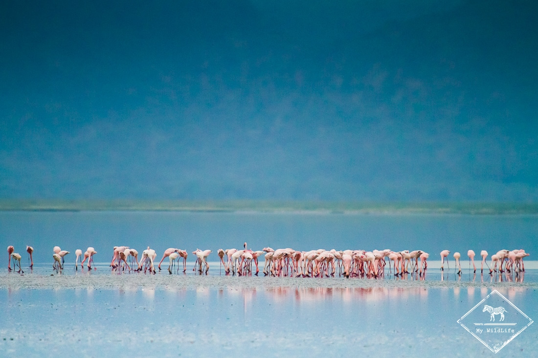 Flamants roses, Parc national du lac Manyara