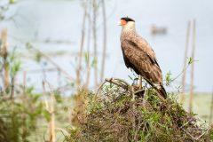 Ornithologie dans la réserve écologique de Costanera Sur à Buenos Aires