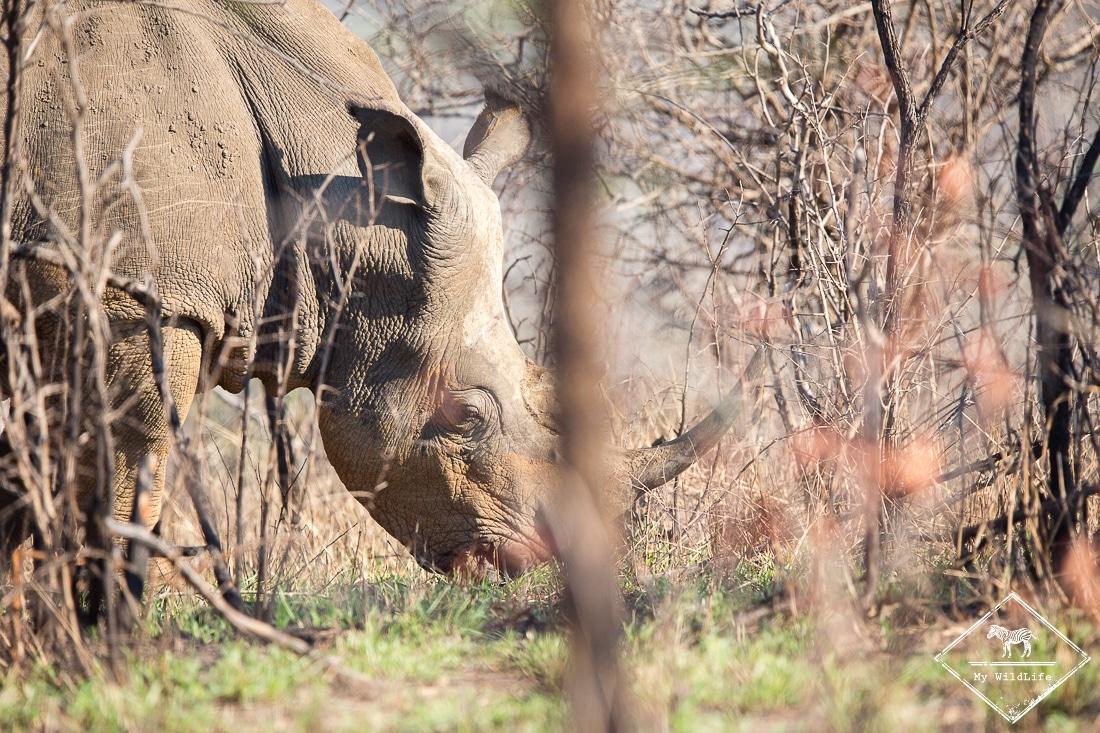 Rhinocéros blanc, Imfolozi-Hluhluwe