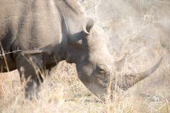 Safari dans la réserve Imfolozi-Hluhluwe sur les traces des rhinocéros