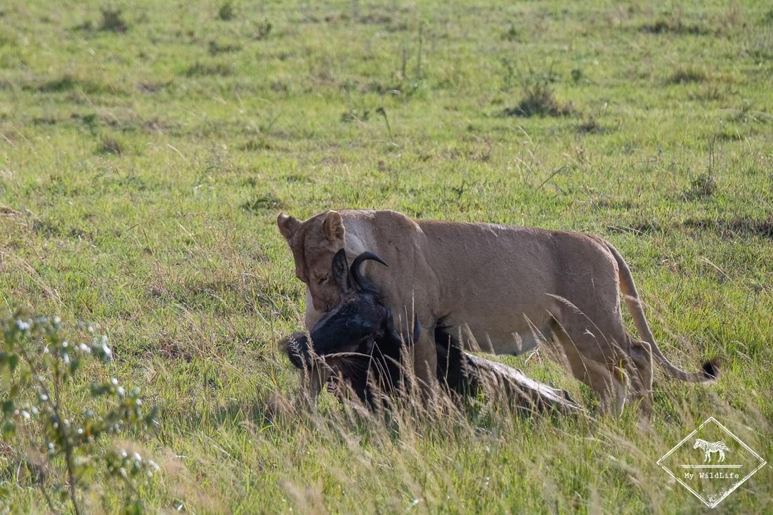 Lionne ayant tué un gnou