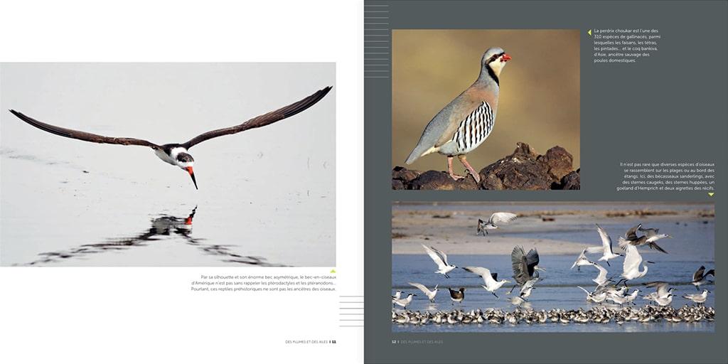 Des plumes et des ailes : pourquoi et comment volent les oiseaux